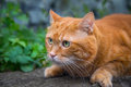 Red cat on the hunt for prey selective focus Royalty Free Stock Photography