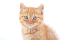 Red cat isolated on white background Royalty Free Stock Image