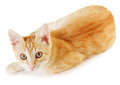 Red cat isolated on white background Royalty Free Stock Photos
