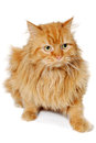 Red cat isolated on white background is resting a clean Royalty Free Stock Image