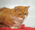 Red cat large with sad eyes Stock Photo