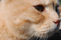 Red cat looks into eternity cat s face close up philosophical eyes profile fiery under the bright sun spring Royalty Free Stock Images