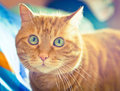 Red cat lovely looking into the camera soft focus Royalty Free Stock Photography