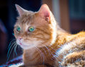 Red cat lovely looking somewhere soft focus Royalty Free Stock Image