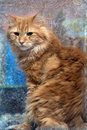 Red cat photos in retro style large fluffy housecat portrait Stock Photos