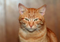 Red cat portrait lazy tabby looking Stock Photography