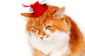 Red cat in red hat with plumage isolated Stock Photos