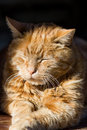Red cat resting at the sun a is Stock Photo
