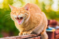 Red cat sitting on the fence and roaring or yawning Stock Images
