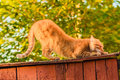Red cat sitting on the fence scratching claws Stock Photography