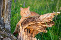 Red cat is sitting on a tree in a forest in summer broken the the sunny day Royalty Free Stock Photo