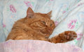 Red cat sleeps in a crib as a man sleeping on bed having covered with blanket Royalty Free Stock Photos