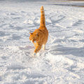 Red cat in the snow big on a walk Royalty Free Stock Images