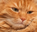 Red cat in soft focus face of funny furry closeup Stock Photo