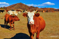 The red cattle Royalty Free Stock Photo