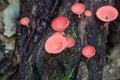 Red champagne mushroom