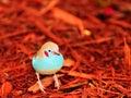 Red-cheeked Cordon-bleu Bird I...