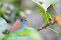 Red cheeked cordon bleu closeup of a uraeginthus bengalus bird standing on a tree branch in an aviary in butterfly world south Stock Images