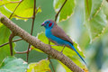 Red cheeked cordon bleu a perched on a branch Royalty Free Stock Image