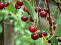 Red cherries Royalty Free Stock Photo