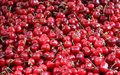 Red Cherries. Stock Image