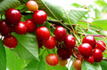 Red cherries in summer garden Royalty Free Stock Photos