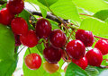 Red cherries in summer garden Stock Image