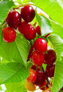 Red cherries in summer garden Royalty Free Stock Photo