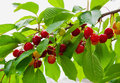 Red cherries in summer garden Stock Images