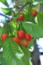 Red cherries on tree Royalty Free Stock Photo