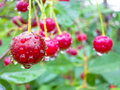 Red cherry berries on a tree branch with water drops. Royalty Free Stock Photo