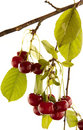 Red cherry on branch Royalty Free Stock Images