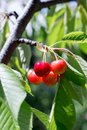 Red cherry branch Royalty Free Stock Photo
