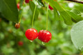 Red cherry with a drop on a branch after the rain Royalty Free Stock Photo