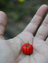Red cherry in the hand Royalty Free Stock Photo