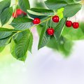 Red cherry juicy cherries on a green branch Royalty Free Stock Photography