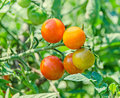 Red cherry tomato, edible red fruit, berry of the nightshade Solanum lycopersicum, commonly known as a tomato plant Royalty Free Stock Photo