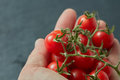Red cherry tomatoes in a man`s hand Royalty Free Stock Photo