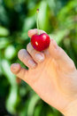 Red cherry in womans hand Royalty Free Stock Photo