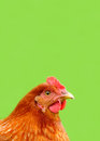 Red Chicken on Bright Green Background Royalty Free Stock Photo