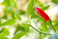 Red chilli pepper plant Stock Image