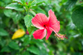 Red Chinese Rose or a flower of red hibiscus with green leaves Royalty Free Stock Photo