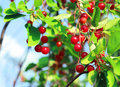 Red chokecherry and green foliage in summer garden Royalty Free Stock Photo