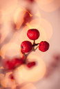 Red christmas berries winterberry branches with holly Stock Image