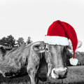 Red Christmas hat on a cow, fun xmas greeting card Royalty Free Stock Photo