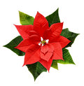 Red Christmas poinsettia flower Royalty Free Stock Photo