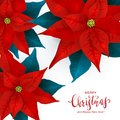 Red Christmas Poinsettia on White Background Royalty Free Stock Photo