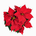 Red christmass flower Royalty Free Stock Image