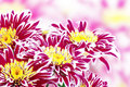 Red Chrysanthemum Stock Photos