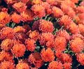 Red chrysanthemum. Beautiful autumn flower in a garden decor. Floral background for design. Royalty Free Stock Photo